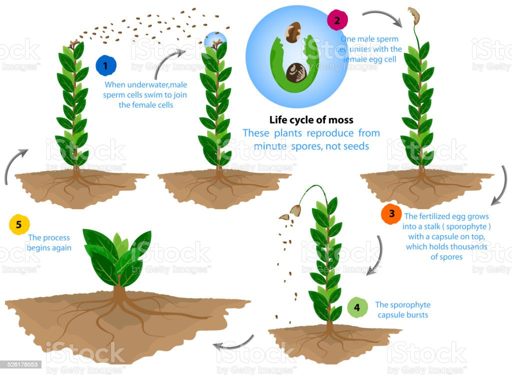 Life cycle of moss vector art illustration