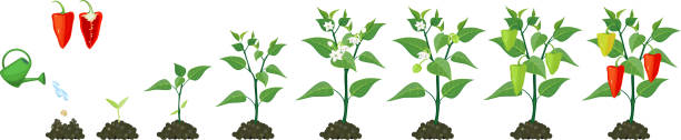 ilustrações de stock, clip art, desenhos animados e ícones de life cycle of pepper plant. stages of pepper growth from seed and sprout to harvest - red bell pepper isolated