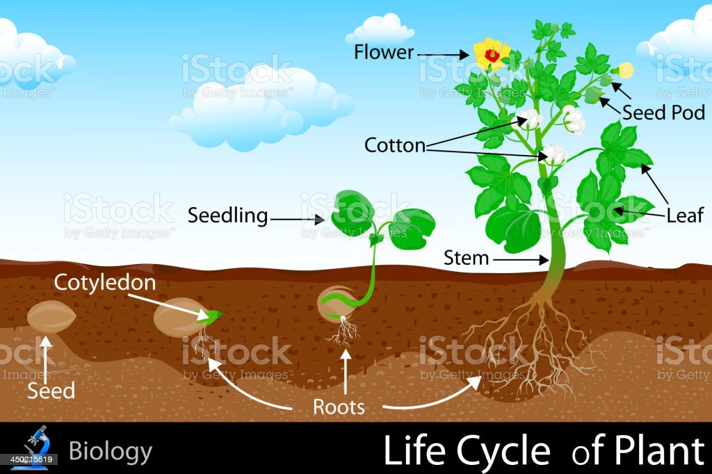 Life Cycle of Plant royalty-free stock vector art