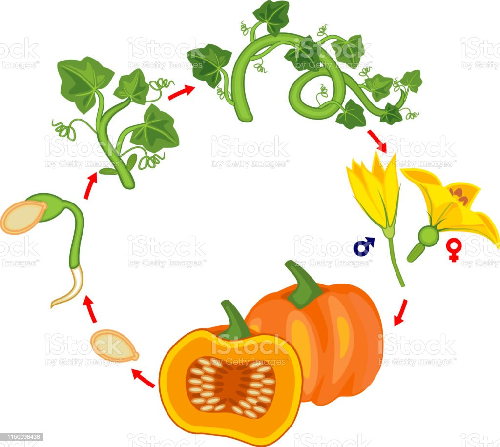 life cycle of pumpkin plant growth stages from seed to green life cycle of pumpkin plant diy felt pumpkin parts and life cycle