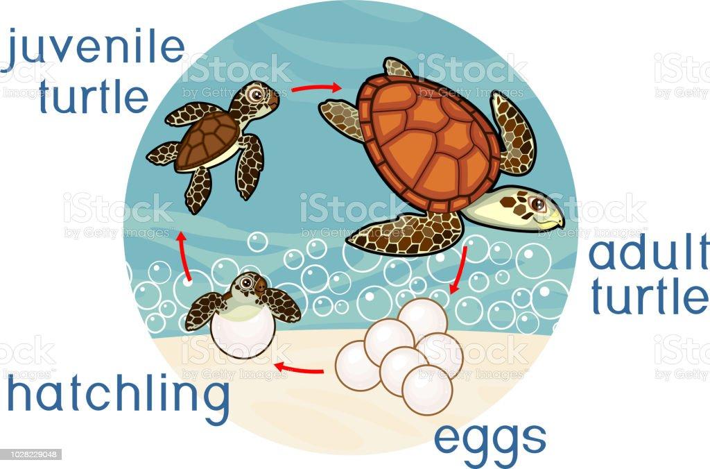 Lebenszyklus Der Meeresschildkröte Abfolge Von Phasen Der ...