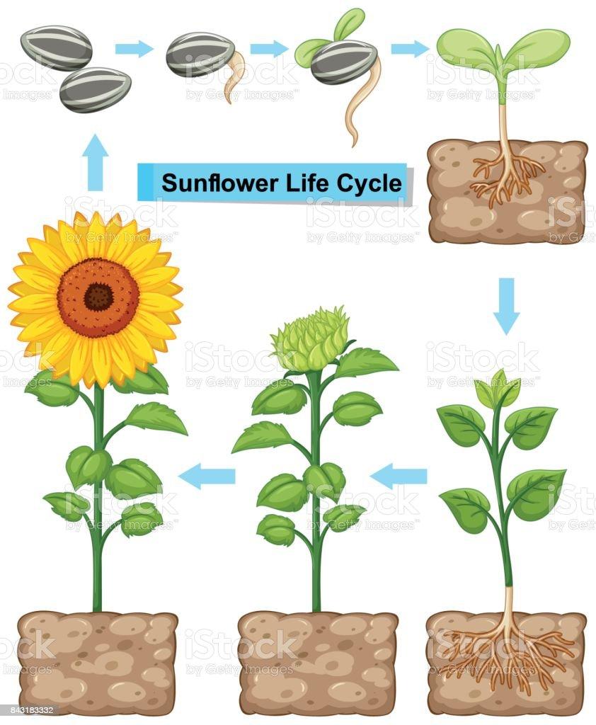 Lebenszyklus Von Sonnenblumen Pflanze Stock Vektor Art und mehr ...