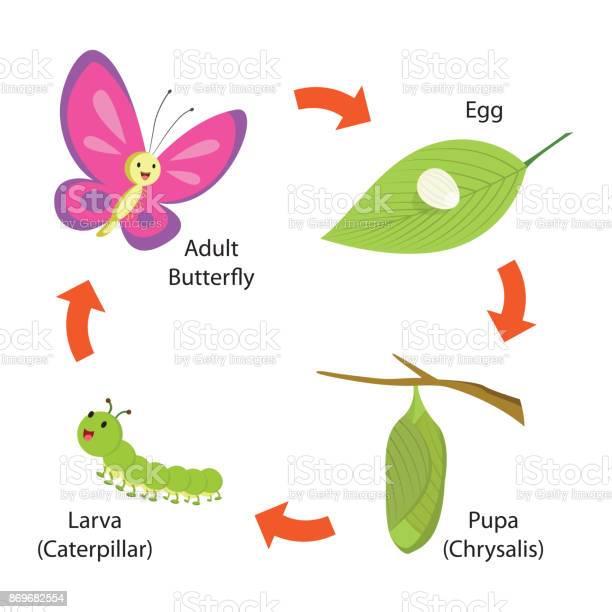 Life cycle of the butterfly vector id869682554?b=1&k=6&m=869682554&s=612x612&h=lw7zgqudnoukuyankelgg z8eyjwb vmn5qfgzqkdqg=