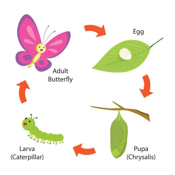 수명 주기 나비 - 누에고치 stock illustrations