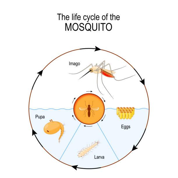 stockillustraties, clipart, cartoons en iconen met levenscyclus van de mug: imago, de eieren, de verpopping, de larve. - larve