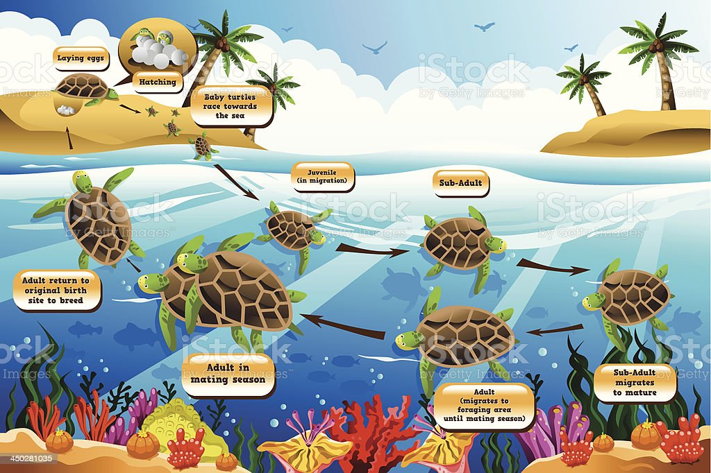 Life cycle of the sea turtle vector art illustration