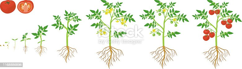 Life cycle of tomato plant. Growth stages from seed to flowering and fruiting plant with ripe red tomatoes and root system isolated on white background