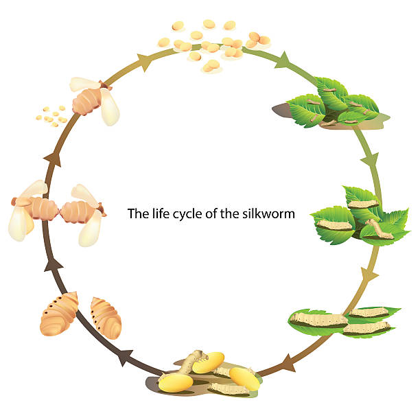 stockillustraties, clipart, cartoons en iconen met life cycle silk worm - zijdeworm