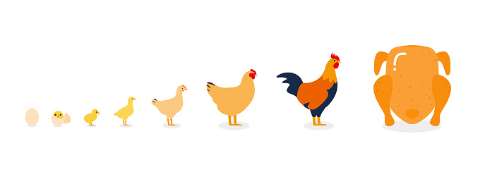 life of the chicken, different age of chicken, vector illustration