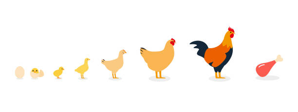 life of the chicken life of the chicken poultry stock illustrations