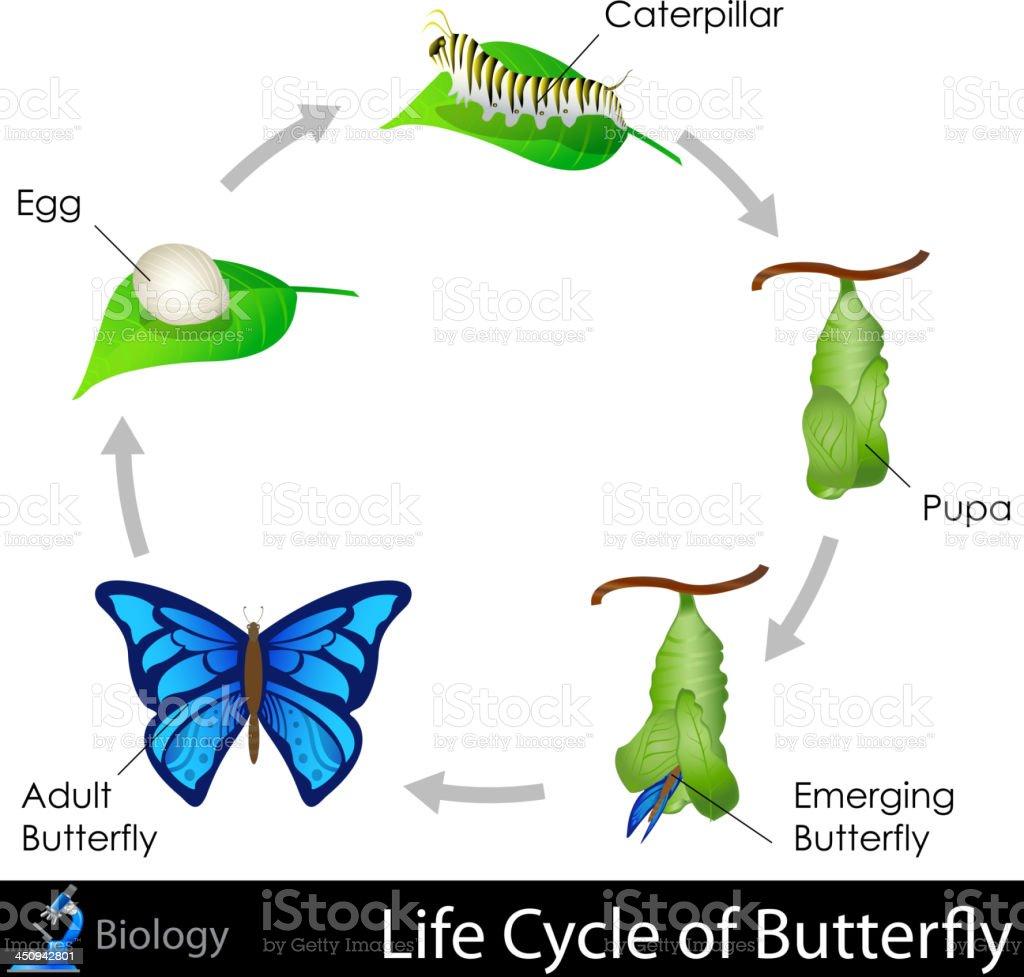 Lifecycle Von Schmetterling Stock Vektor Art und mehr Bilder von ...