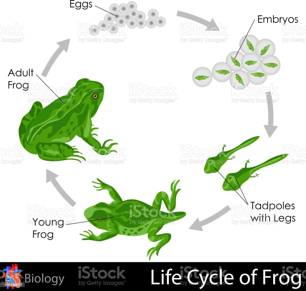 Lifecycle of Frog vector art illustration