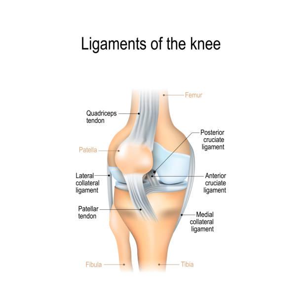 膝蓋的韌帶 - 人體部分 幅插畫檔、美工圖案、卡通及圖標