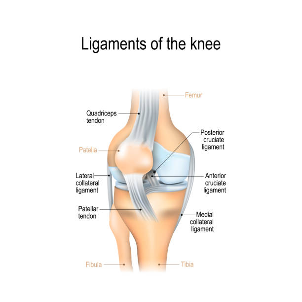 ligaments of the knee - część ciała stock illustrations
