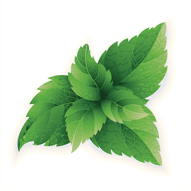 Mint herb Vector illustration of mint herb. ZIP includes large JPG (CMYK3100x3100). PNG without shadow and with transparent background. Image use global color.      mint leaf culinary stock illustrations