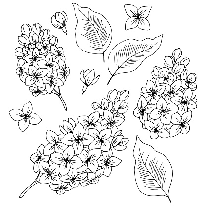 Lilac flower graphic black white isolated sketch set illustration vector