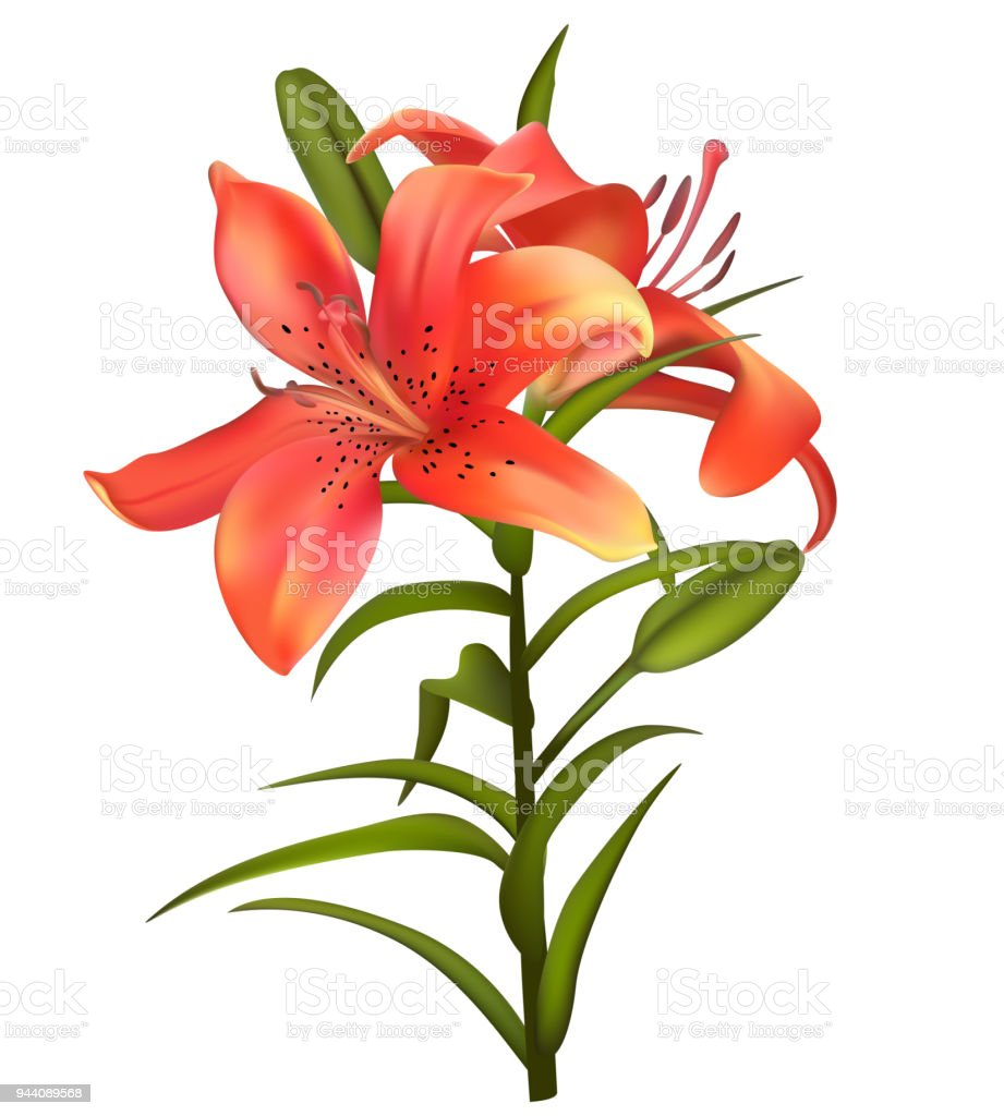 Lilies Flowers Floral Background Bouquet Green Leaves Buds Petals