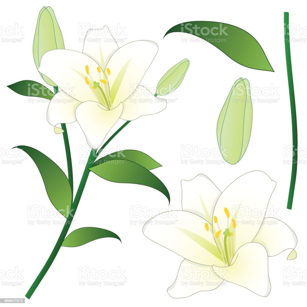 Lilium candidum the madonna lily or white lily national flower of lilium candidum the madonna lily or white lily national flower of italy vector izmirmasajfo Gallery