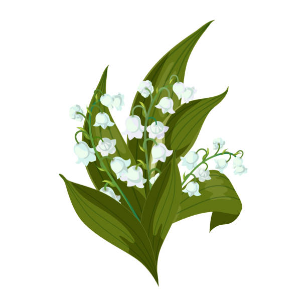 Lilly of the valley-May bells, Convallaria majalis with green leaves on a white background. Lilly of the valley - May bells, Convallaria majalis with green leaves. Bouquet on a white background.Spring flower.Hand drawn realistic vector illustration. lily of the valley stock illustrations
