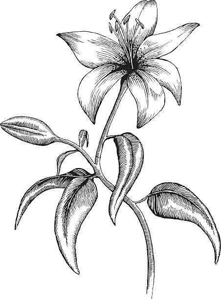 Lilly Lilly, Ink Style - vector drawing lily stock illustrations