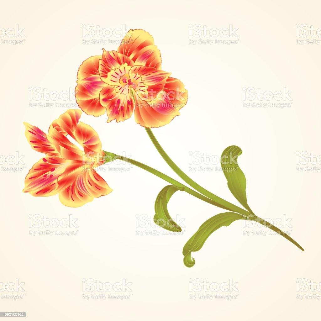 Flor de Lily Alstroemeria tallo y hojas closeup vector de sorteo de mano vintage - ilustración de arte vectorial