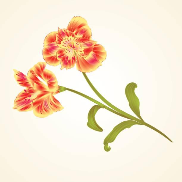 lily alstroemeria stiel blüte und blätter nahaufnahme isoliert vintage hand zeichnen vektor - inkalilie stock-grafiken, -clipart, -cartoons und -symbole