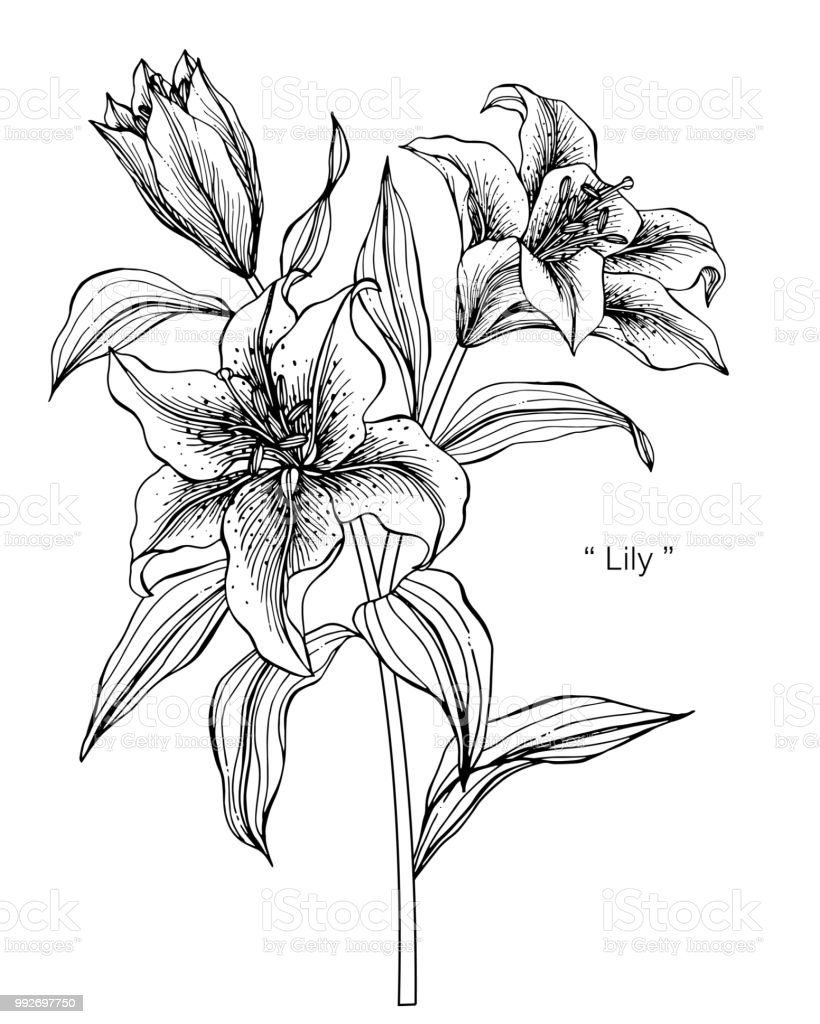 Lily flower drawing illustration black and white with line art on lily flower drawing illustration black and white with line art on white backgrounds royalty izmirmasajfo