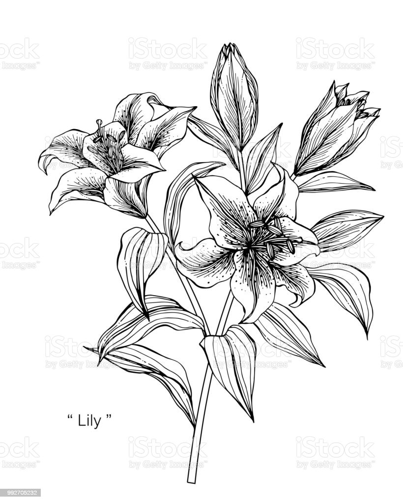 Lily Fleur Dessin Illustration Noir Et Blanc Avec Dessins Au Trait