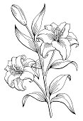 Lily flower graphic black white isolated sketch illustration vector