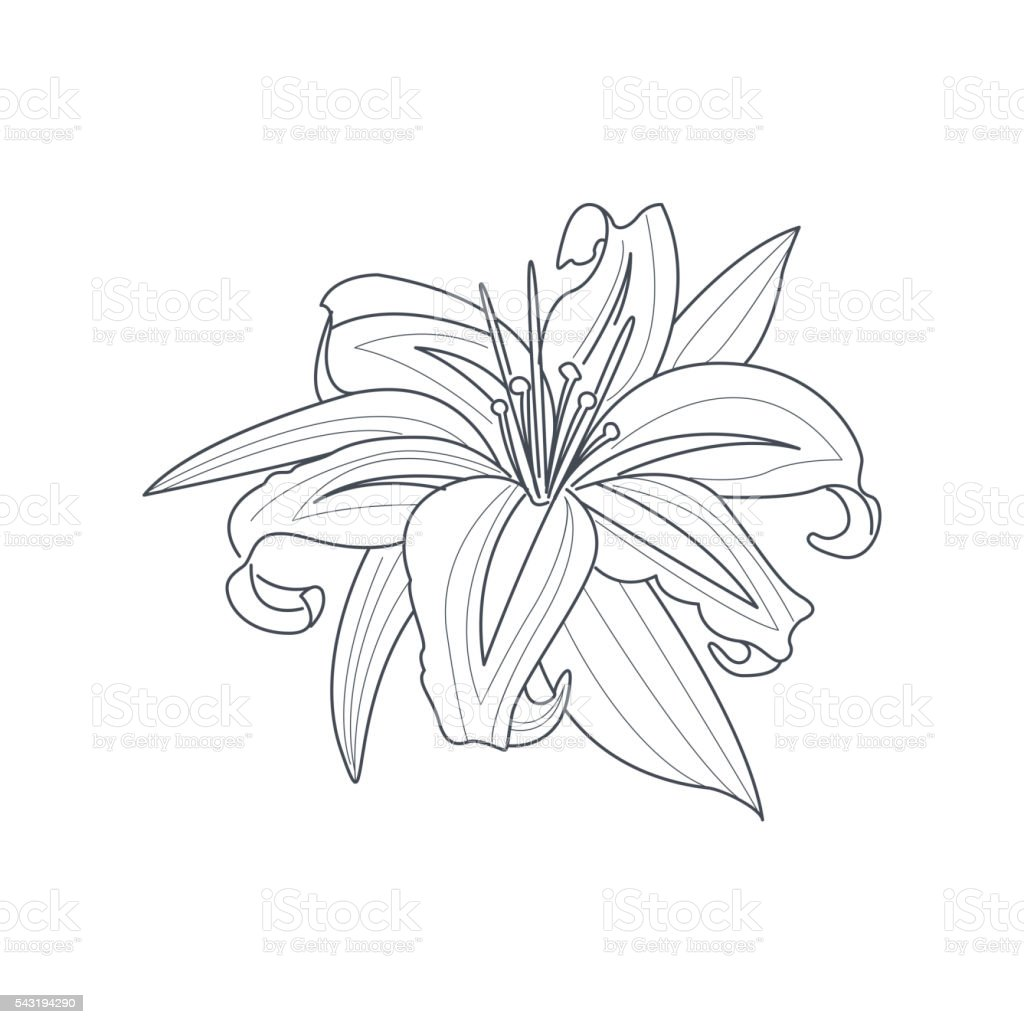 Ilustración De Flor De Lirio Monocromo Dibujo Para Libro De