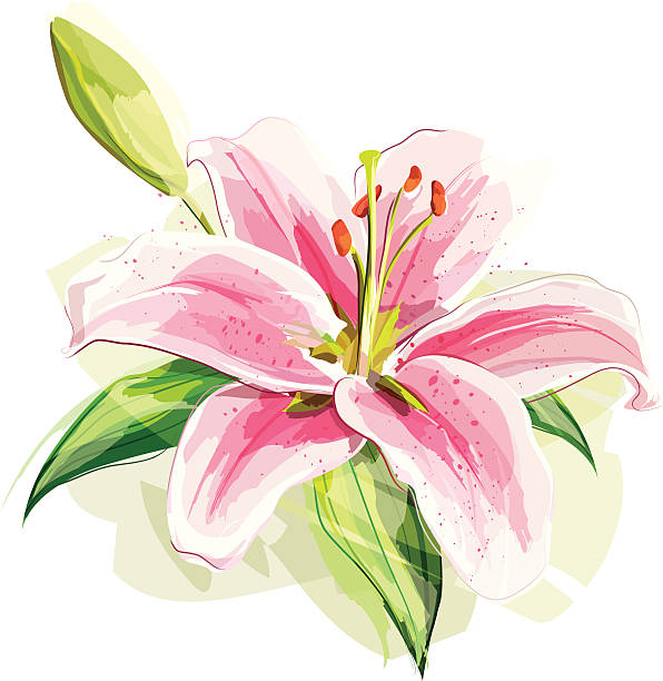 Lily Flower Illustration of a pink lily. Flower and the shadow are grouped and layered separately. lily stock illustrations