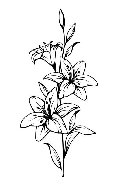 Lilie blüht. Vektor schwarz-weiß Kontur zeichnen. – Vektorgrafik