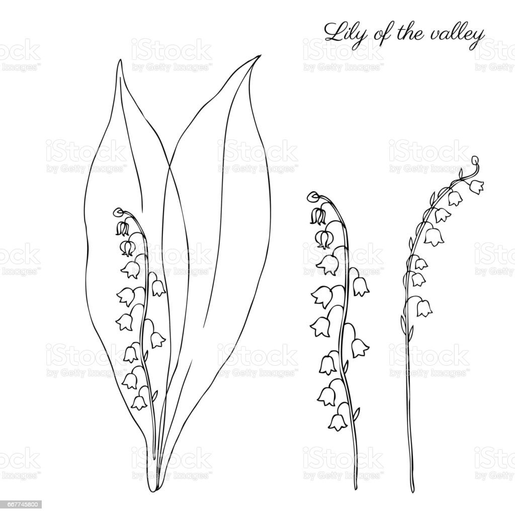 Lily Of The Valley Convallaria Flower Muguet Isolated On White