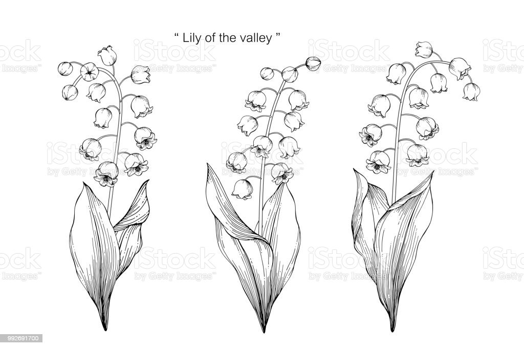 Lily Of The Valley Flower Drawing Illustration Black And White