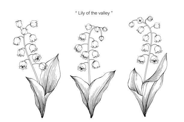 Lily of the valley flower drawing illustration. Black and white with line art on white backgrounds. Lily of the valley flower drawing illustration. Black and white with line art on white backgrounds. lily of the valley stock illustrations