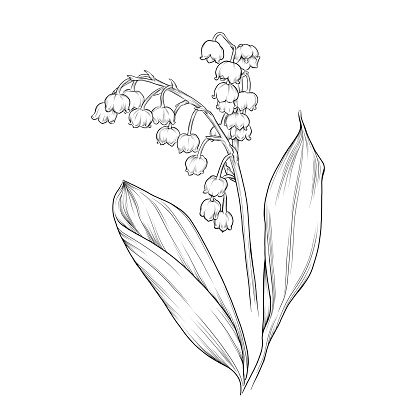 Lily of the Valley Flower Ink Vector Illustration