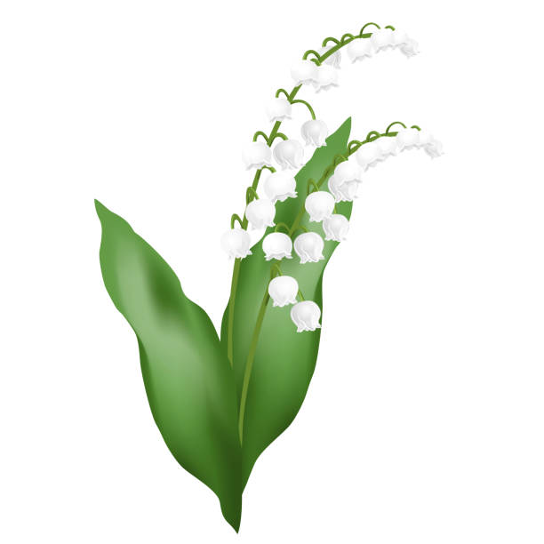 Lily of the valley flowers, realistic vector illustration. Lily of the valley flowers (may bells, Convallaria majalis). Realistic vector illustration isolated on white background. lily of the valley stock illustrations