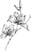 Hand-drawn illustration of a lily. Fully vector.