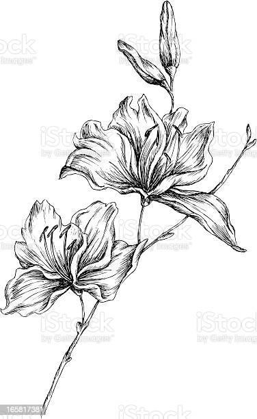 Lily vector id165817381?b=1&k=6&m=165817381&s=612x612&h=sqjmyopt0iwvawg9mhkqzb7mdykd9uag pli7qhmsn0=