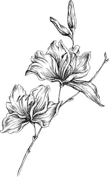 lily Hand-drawn illustration of a lily. Fully vector.  orchid stock illustrations