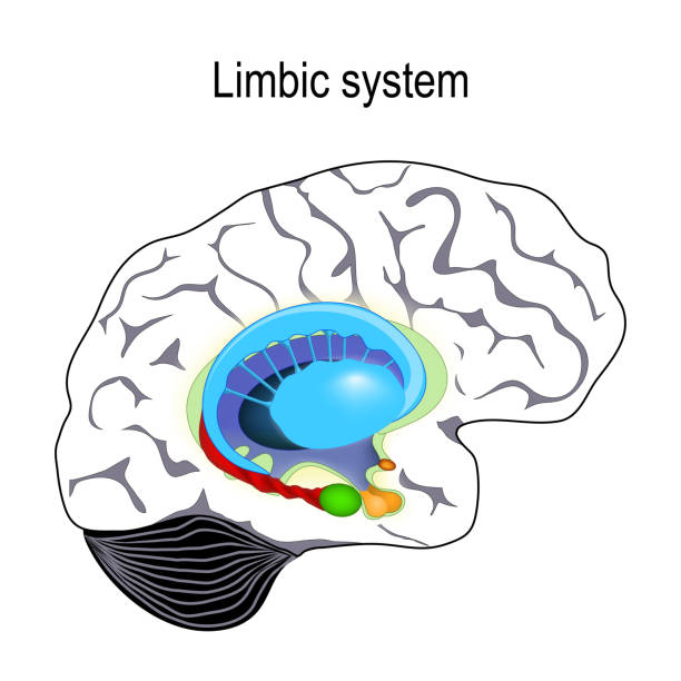 limbic system. Cross section of the human brain limbic system. Cross section of the human brain. Anatomical components of limbic system: Mammillary body, basal ganglia, pituitary gland, amygdala, hippocampus, thalamus, cingulate gyrus, corpus callosum, hypothalamus). Vector illustration for medical, biological, science and educational use hippocampus brain stock illustrations