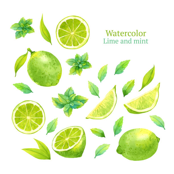 Lime and mint Watercolor vector lime and mint lime stock illustrations