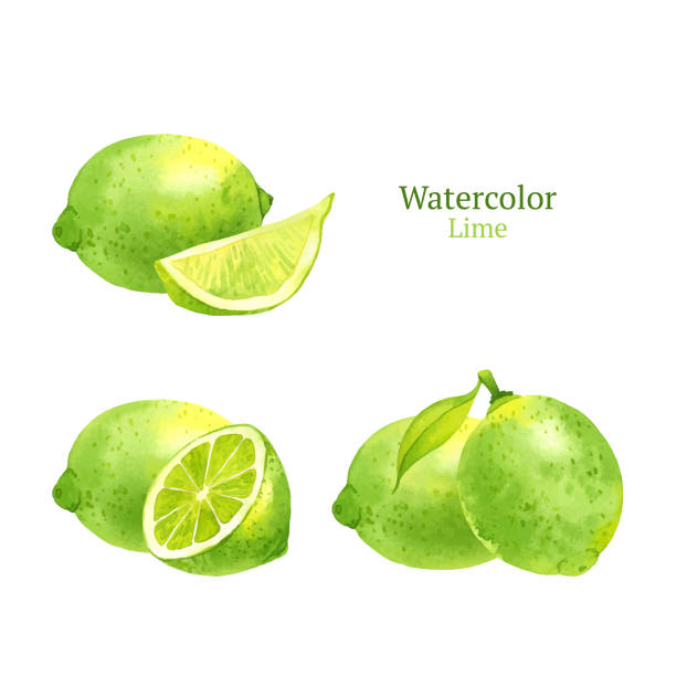 Lime Watercolor vector lime lime stock illustrations