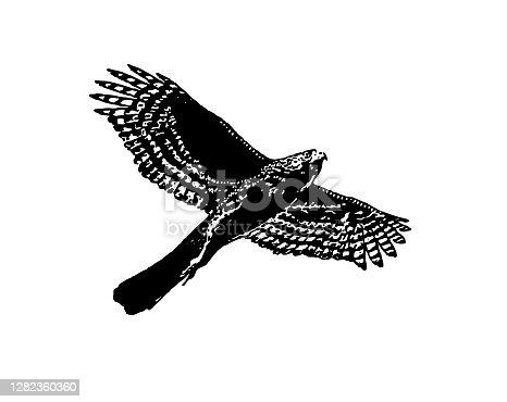 istock Line art vector of a Cooper's Hawk flying 1282360360