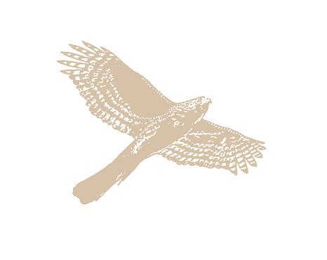 Line art vector of a Cooper's Hawk flying