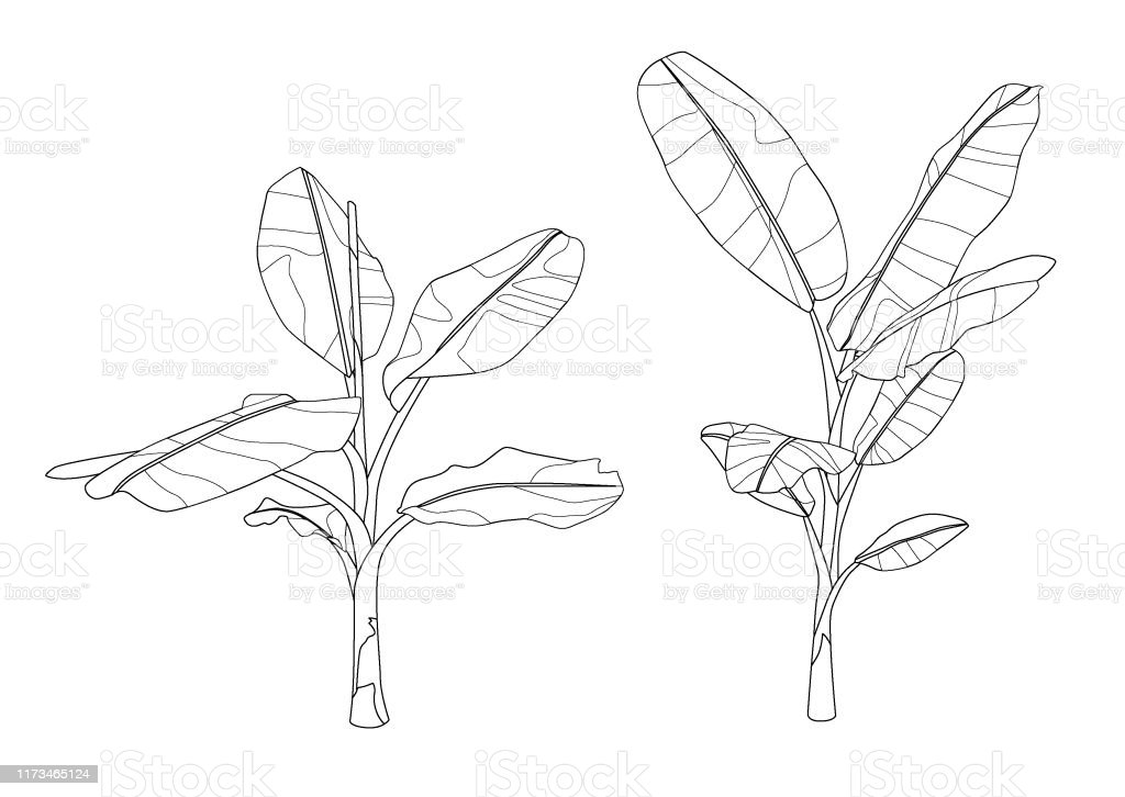 Line Banana Tree On White Background Illustration Vector Stock Illustration Download Image Now Istock