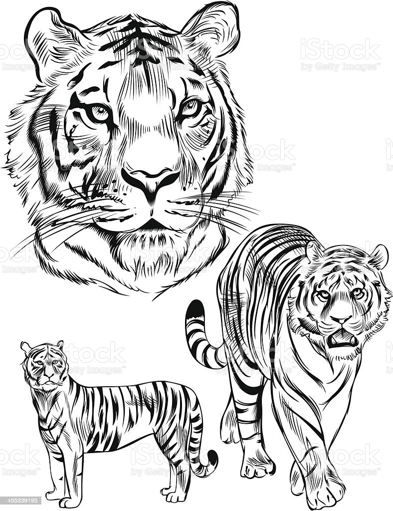 Line Drawing Tiger : Line drawing of a tiger stock vector art more images