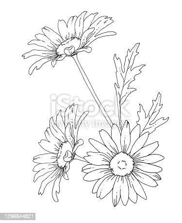 istock Line drawing of daisy flowers 1296644821