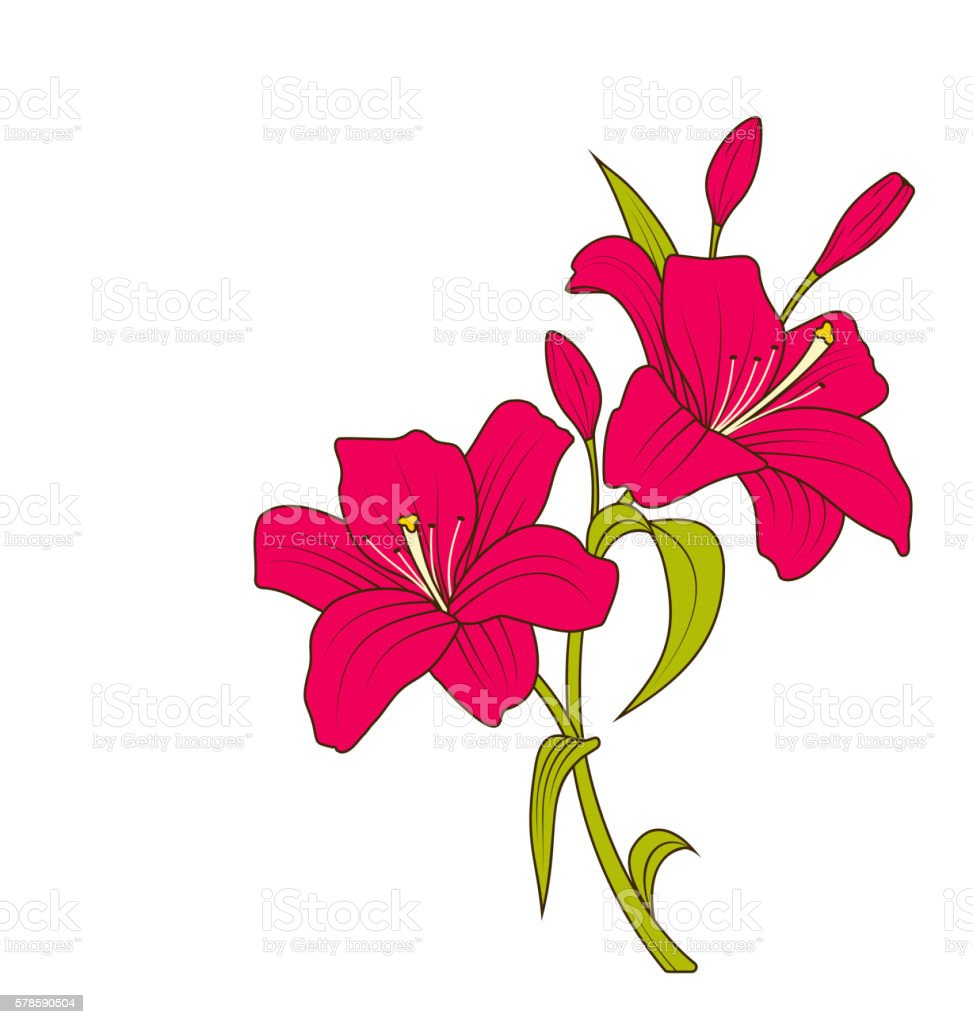 Linear Colored Sketch Of Beautiful Lily Flowers Isolated On White