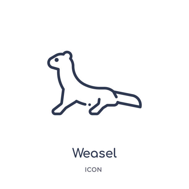 Linear weasel icon from Animals outline collection. Thin line weasel icon isolated on white background. weasel trendy illustration Linear weasel icon from Animals outline collection. Thin line weasel icon isolated on white background. weasel trendy illustration ermine stock illustrations